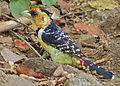 Crested Barbet (Trachyphonus vaillantii) (11856784705).jpg