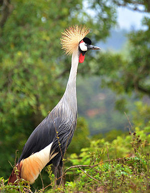 Uganda - The Crested crane is the national bird.