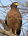 Crested serpent eagle at corbett.jpg