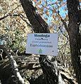 Croton gratissimus - Botswana Bot Gardens 1.jpg