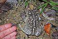 Cuban Spotted Toad (Peltophryne taladai) (8575064778).jpg