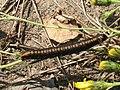 Cucullia lucifuga (larva) - Капюшонница чертополоховая (гусеница) (41014447062).jpg