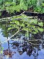 Cupressaceae - Taxodium ascendens-1.jpg
