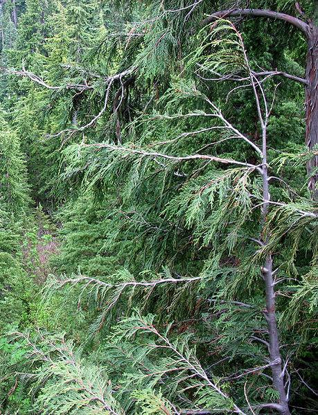 File:Cupressus nootkatensis Mount Seymour.jpg