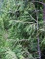 Cupressus nootkatensis Mount Seymour.jpg