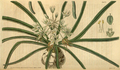 Curtis's Botanical Magazine, Plate 3077 (Volume 58, 1831).png