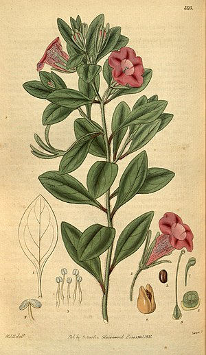 Curtis's botanical magazine (Plate 3113) (8411514810).jpg