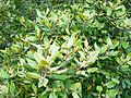 Curtisia dentata - Assegai tree - foliage and flower buds.JPG