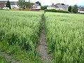 Cut path through a field of oats - geograph.org.uk - 486530.jpg