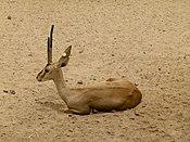 Cuvier's gazelle - Cuviergazelle - Gazelle de Cuvier - Gazella cuvieri - 02.jpg