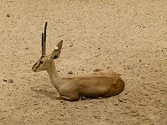 240px cuvier%27s gazelle   cuviergazelle   gazelle de cuvier   gazella cuvieri   02