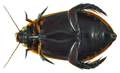 Cybister tripunctatus ssp. lateralis (Fabricius, 1798) female ventral (8172871133).png