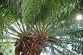 Cycas circinalis 30zz.jpg
