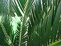Cycas revoluta 02.jpg