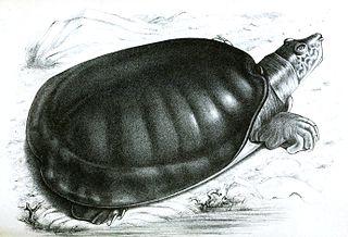 <i>Cyclanorbis</i> Genus of turtles