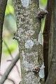 Cydonia oblonga in Aveyron (6).jpg