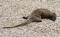 Cynictis penicillata - Yellow mongoose 2021-03-27 01.jpg