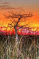 Cypress against colored sky, NPSphoto, G.Gardner (9255153817).jpg