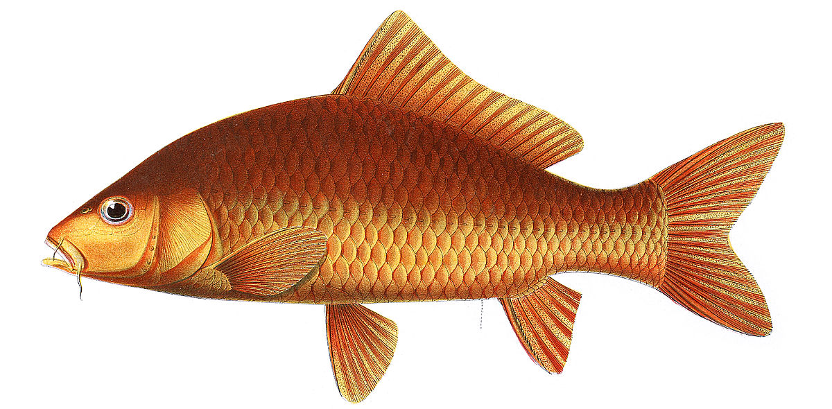 CYPRINUS CARPIO EPUB