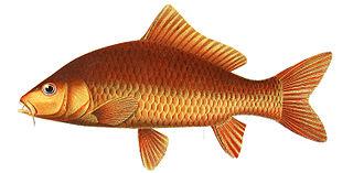 <i>Cyprinus rubrofuscus</i> species of fish