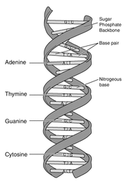 Schematic representation of DNA, the primary genetic material.