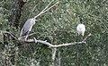 DSC 6707 Sur un arbre perché le héron cendré et l'ibis sacré (50121975831).jpg