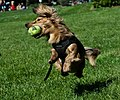 Dachshund catching tennis ball.jpg