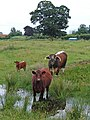 Daddy Bull, Mummy Cow and Baby Calf - geograph.org.uk - 476313.jpg
