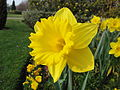 Daffodils at Regent's Park in March 2012 6.JPG