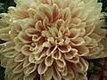 Dahlia from Lalbagh Flower Show August 2012 4613.JPG