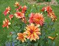 Dahlia yellowpinkorange.jpg