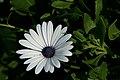 Daisy 2 (1495172706).jpg