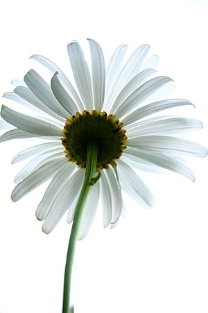 English: daisy from below