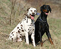 Dalmatian and Dobermann.jpg