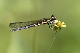 Dancing Jewel (Platycypha caligata) teneral male.jpg