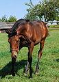 Dansili-Ffestiniog colt foal (6205554590).jpg