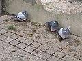 Darłowo-pigeons.jpg