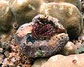 Dardanus lagopodes.jpg