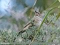 Dark-throated Thrush (Turdus ruficollis) (46804558771).jpg