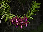 Dark purple Trichoglottis (70213s)c.jpg