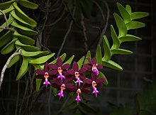 Photo of Trichoglottis atropurpurea flower