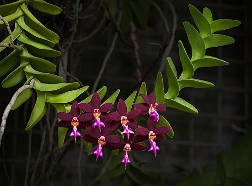Photograph of vibrant green branch with seven dark purple orchids blooming on it