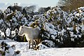 Dartmoor Pony in Snow.jpg