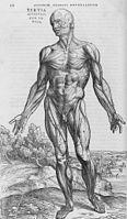 De humani corporis fabrica (25) .jpg