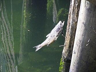 Dead salmon in Ketchikan Creek.jpg