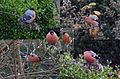 December has started, the winter is coming with an Eurasian bullfinch (Goudvink) eating seeds in our garden - panoramio.jpg