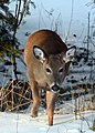 Deer on Drummond Island - 49368623117.jpg