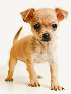 Chihuahua Top Smallest Dog Breeds