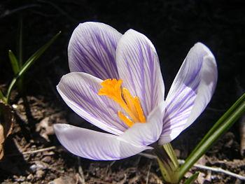 English: Delicious Saffron