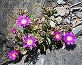 Delosperma sutherlandii in Dunedin Botanic Garden 02.jpg